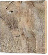 Isolated Lion Staring Wood Print