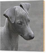 Italian Greyhound Puppy Wood Print