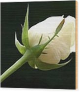 Ivory Rose Bud Wood Print