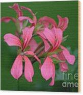 Ivy Geraniums Wood Print