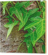 Ivy Wrapped Tree Trunk Wood Print