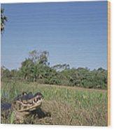 Jacare Caiman In Marshland Pantanal Wood Print