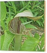 Jack In The Pulpit - Arisaema Triphyllum Wood Print