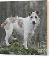 Jack Russell Dog In Autumn Setting Wood Print