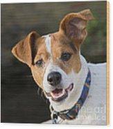 Jack Russell Terrier Wood Print