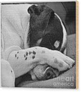 Jack Russell Terrier Dog Asleep In Cute Pose Wood Print by Natalie Kinnear