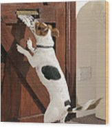 Jack Russell Terrier Gets Paper Wood Print
