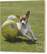 Jack Russell Terrier Plays With Ball Wood Print by Johan De Meester