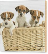 Jack Russell Terrier Puppies Wood Print
