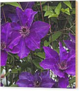 Jackmanii Purple Clematis Vine Wood Print