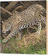 Jaguar Panthera Onca Foraging Wood Print