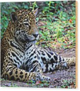 Jaguar Resting From Play Wood Print