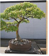 Japanese Bonsai Tree In National Wood Print