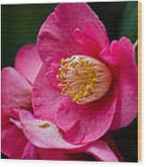 Japanese Camellia-the Official State Flower Of  Alabama Wood Print