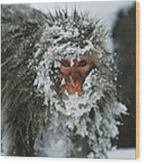 Japanese Macaque Covered In Snow Japan Wood Print