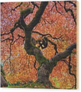 Japanese Maple Tree In Fall Wood Print