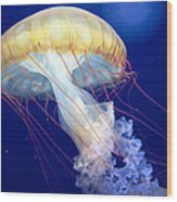 Japanese Sea Nettle Chrysaora Pacifica Wood Print