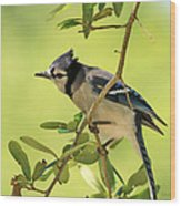 Jay In Nature Wood Print