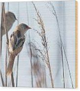 jn01 Bearded Reedling Juvenile Wood Print
