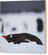 Joe Fox Fine Art - Gentoo Penguin Pygoscelis Papua Lying In The Snow Cuverville Island Antarctica Wood Print