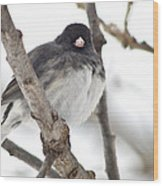 Junco Posing Wood Print