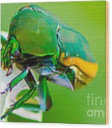 June Bug Fig Beetle Wood Print