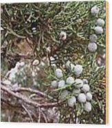 Juniper Berries Ripe Wood Print