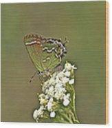 Juniper Or Olive Hairstreak Butterfly - Callophrys Gryneus Wood Print