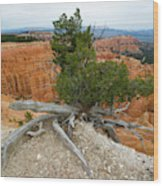 Juniper Tree Clings To The Canyon Edge Wood Print