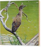 Juvenile Black-crowned Night Heron  Wood Print