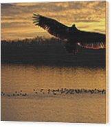 Juvenile Eagle Golden Sunset Wood Print
