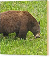 Juvenile Grizzly Bear In Kootenay Np-bc Wood Print