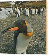 Juvenile King Penguin Wood Print