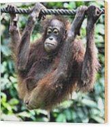 Juvenile Orangutan Borneo Wood Print