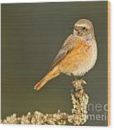 Juvenile Redstart Phoenicurus Phoenicurus Wood Print