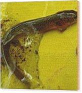 Juvenile Salamander Wood Print