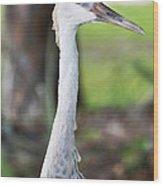 Juvenile Sandhill Crane Grus Canadensis Pratensis I Usa Wood Print
