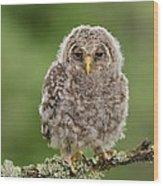 Juvenile Ural Owl Wood Print