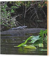 Juvie Gator Wood Print