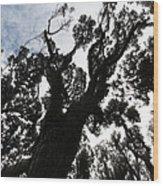 Kahikatea New Zealand Native Tree Wood Print