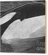 Kandu Orca Seattle Aquarium 1969 Pat Hathaway Photo Killer Whale Seattle Wood Print