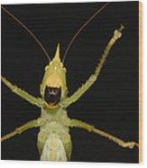 Katydid Underside Ecuador Wood Print