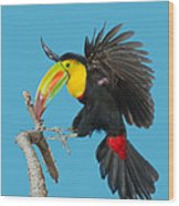 Keel-billed Toucan About To Land Wood Print