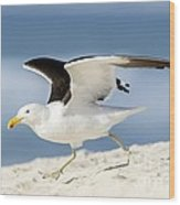 Kelp Gull Taking Off Wood Print