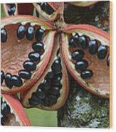 Kelumpang Sarawak Fruit Seeds Sepilok Wood Print