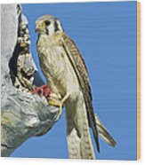 Kestrel At Nest Wood Print