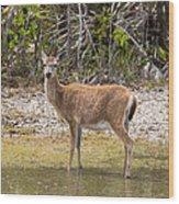 Key Deer Portrait Wood Print