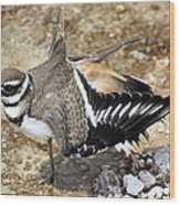 Killdeer Fakeout Wood Print