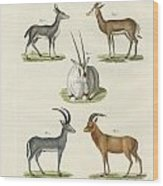 Kinds Of Antilopes Wood Print