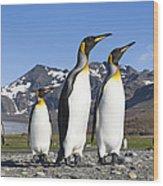 King Penguins St Andrews Bay South Wood Print